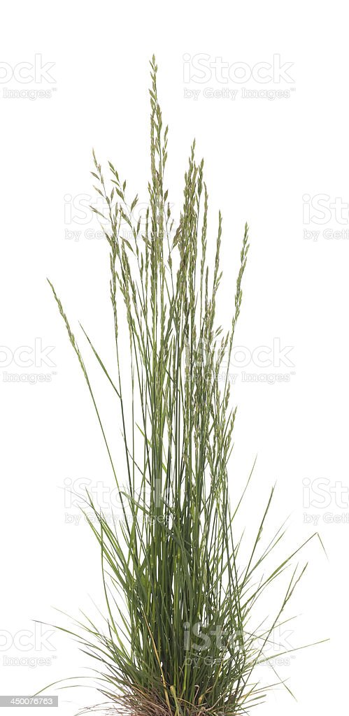 Festuca ovina stock photo