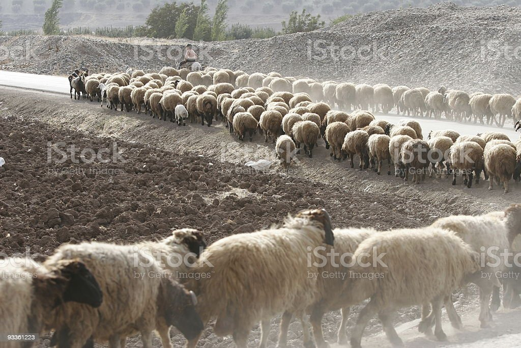 Sheep flock following shepherd riding donkey royalty-free stock photo