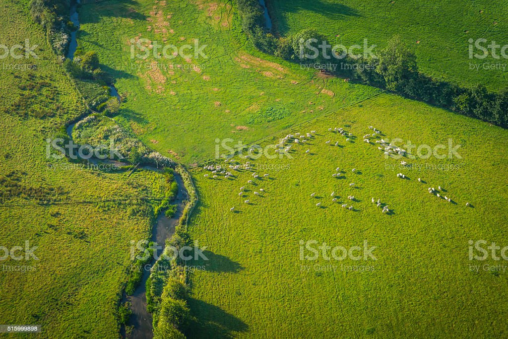 Sheep flock grazing in green pasture beside river aerial photograph stock photo