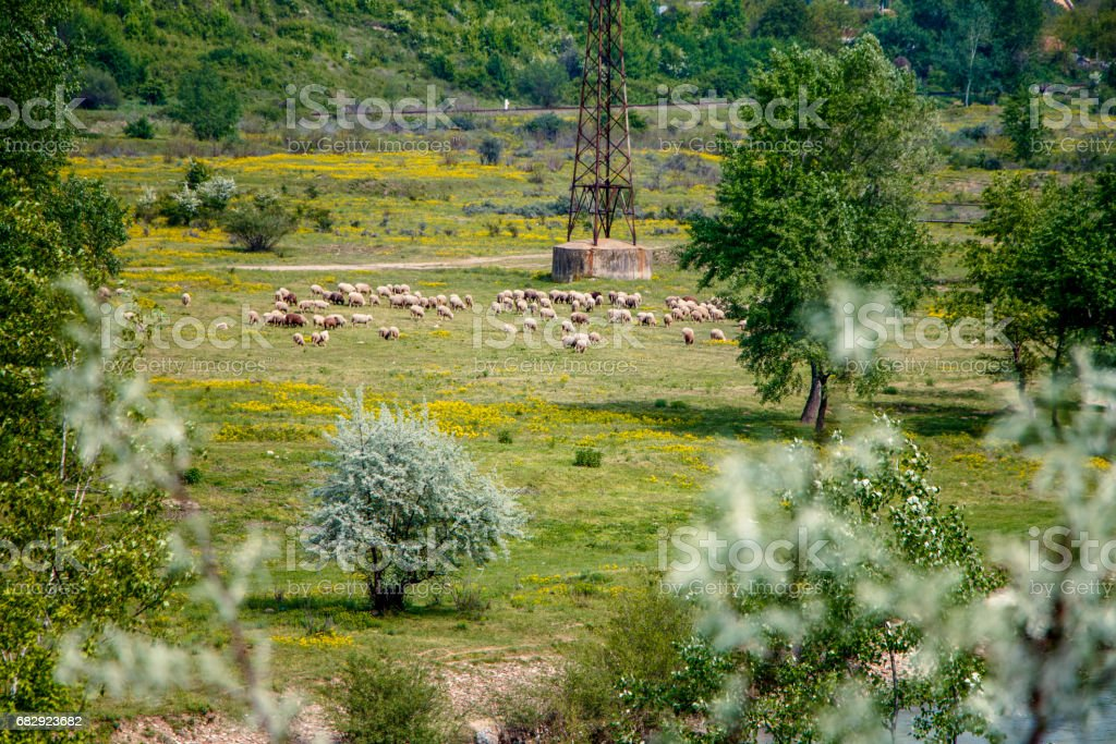 Sheep flock in the Buzau area stock photo