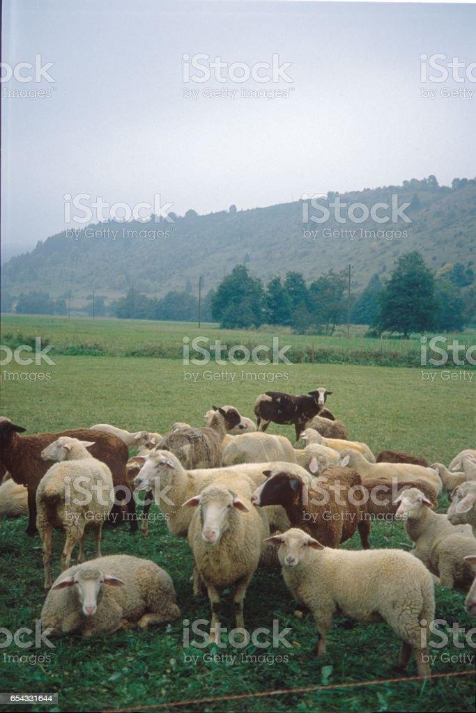 Sheep flock on pasture stock photo