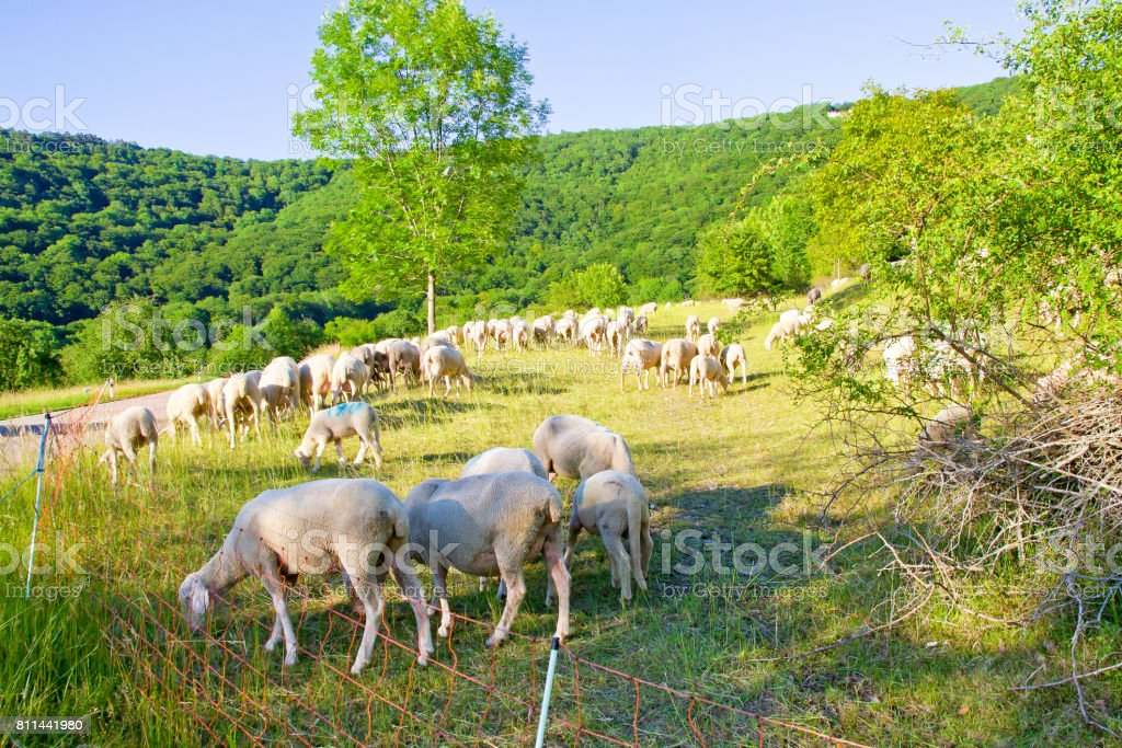 Sheep flock on  the Swabian Alps stock photo
