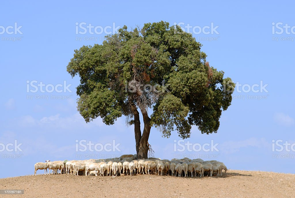 Sheep flock royalty-free stock photo