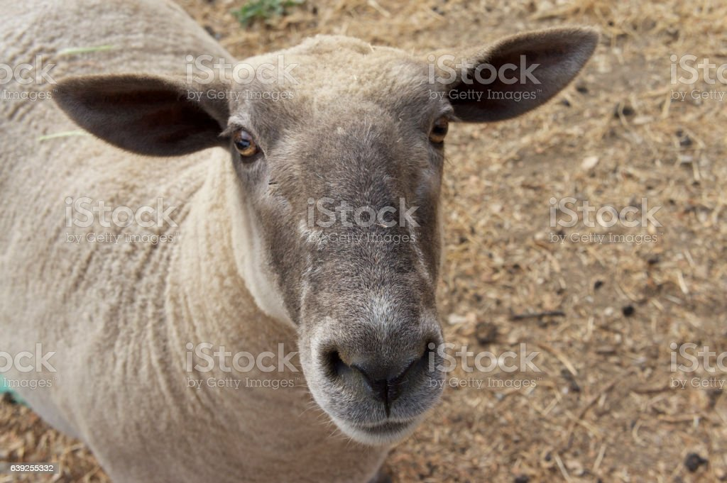 Sheep, freshly shorn stock photo