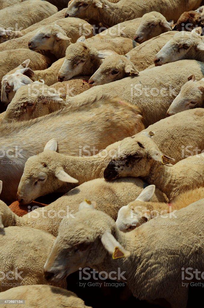Овца из выше Стоковые фото Стоковая фотография