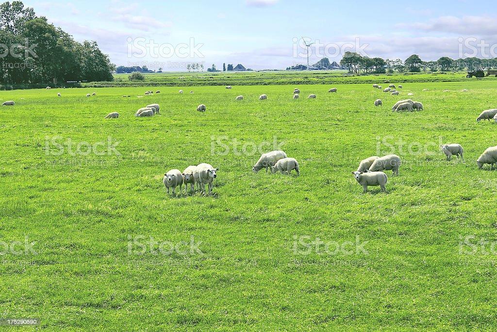 Sheep graze in a meadow near the Dutch farm royalty-free stock photo