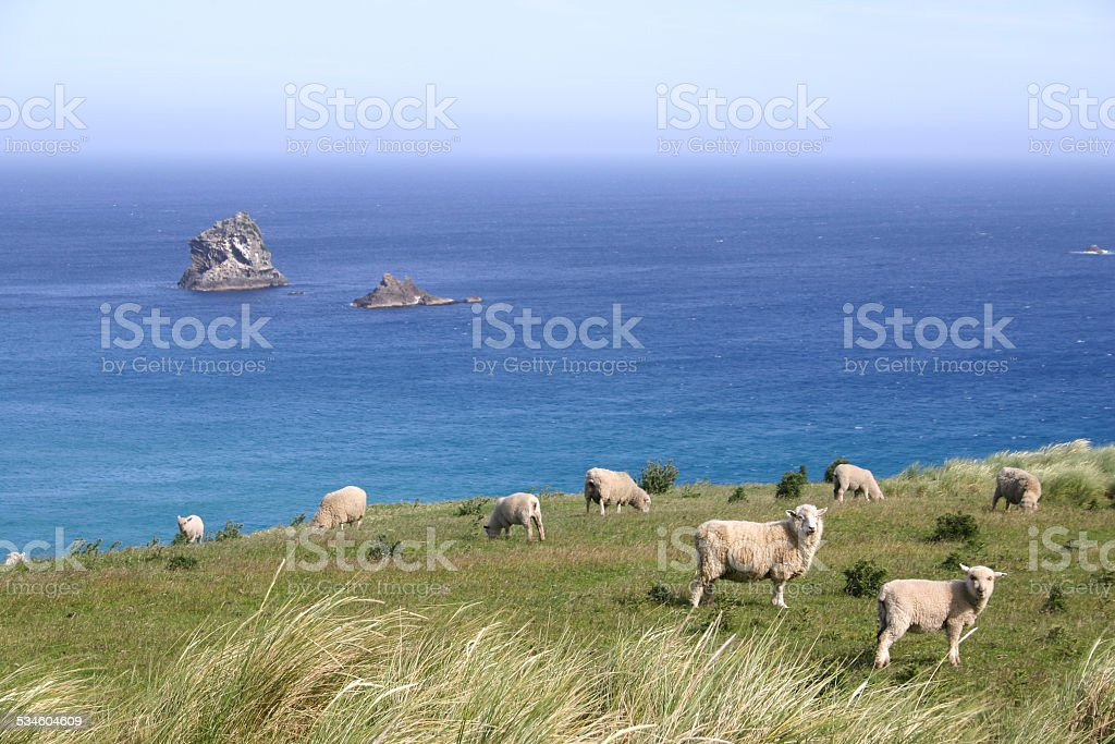 Sheep graze on pasture on the cliff stock photo