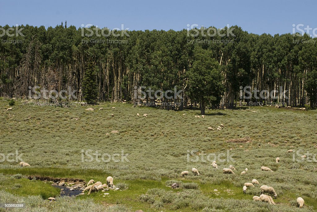 Sheep grazing alpine meadows and lodgepole Pine Cedar Breaks Utah stock photo