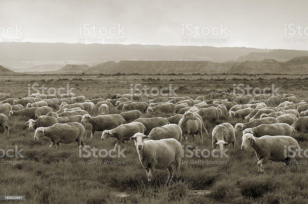 Sheep grazing at Bardenas desert royalty-free stock photo