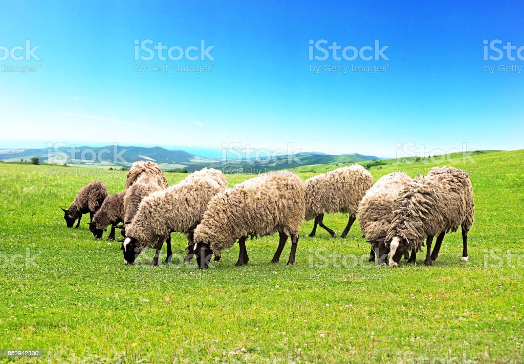 Sheep grazing, colorful pastures. Flock of sheep of Romanov breed is grazed high in the mountains on a green meadow among the panorama of wild forests, fields and sea stock photo