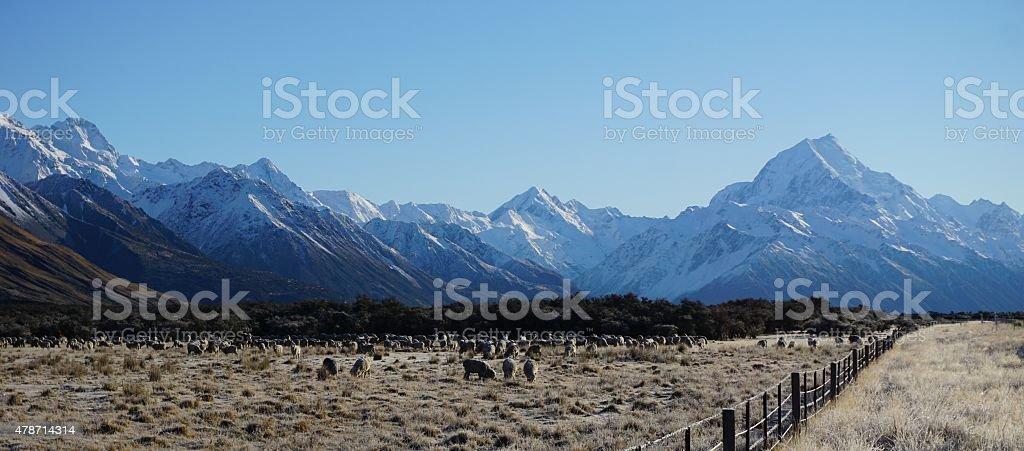 Owce pastwiska kwadratowych majestic Góra Cooka zbiór zdjęć royalty-free