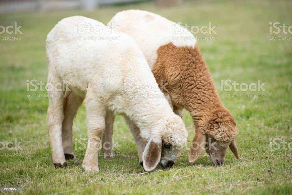 Sheep Grazing grass in a farm stock photo