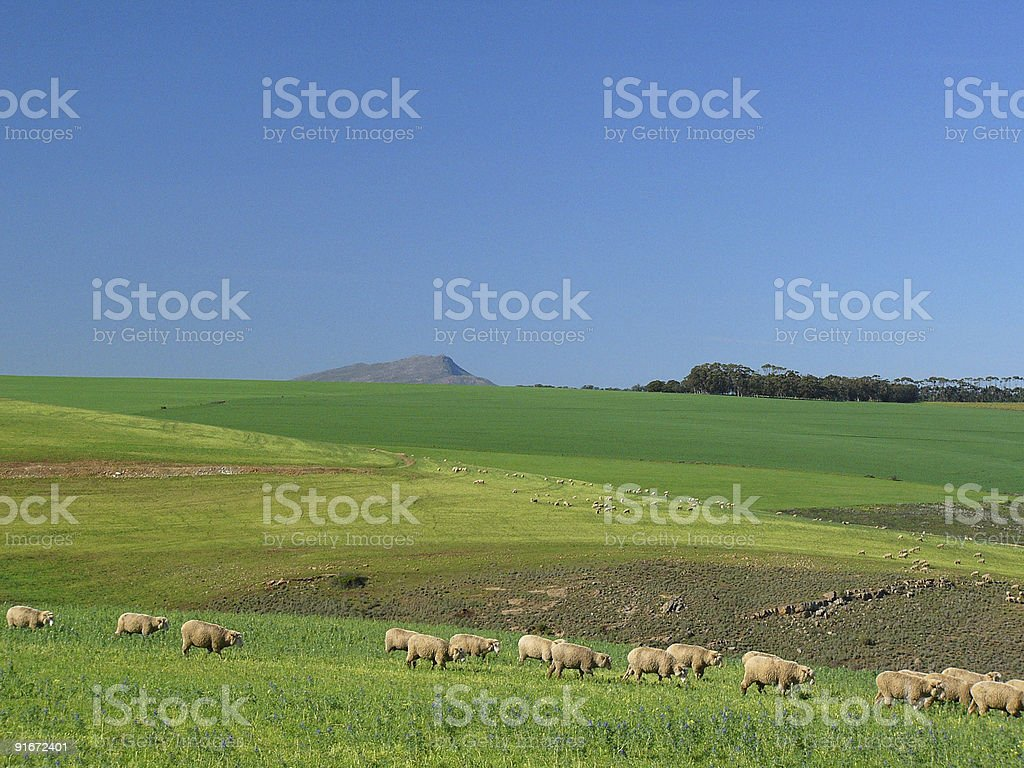 Sheep Grazing in a Green Field 2 stock photo