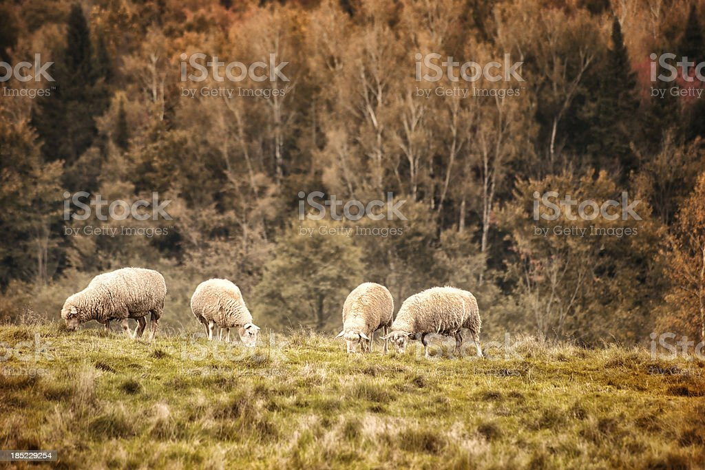 Sheep grazing in Autumn stock photo