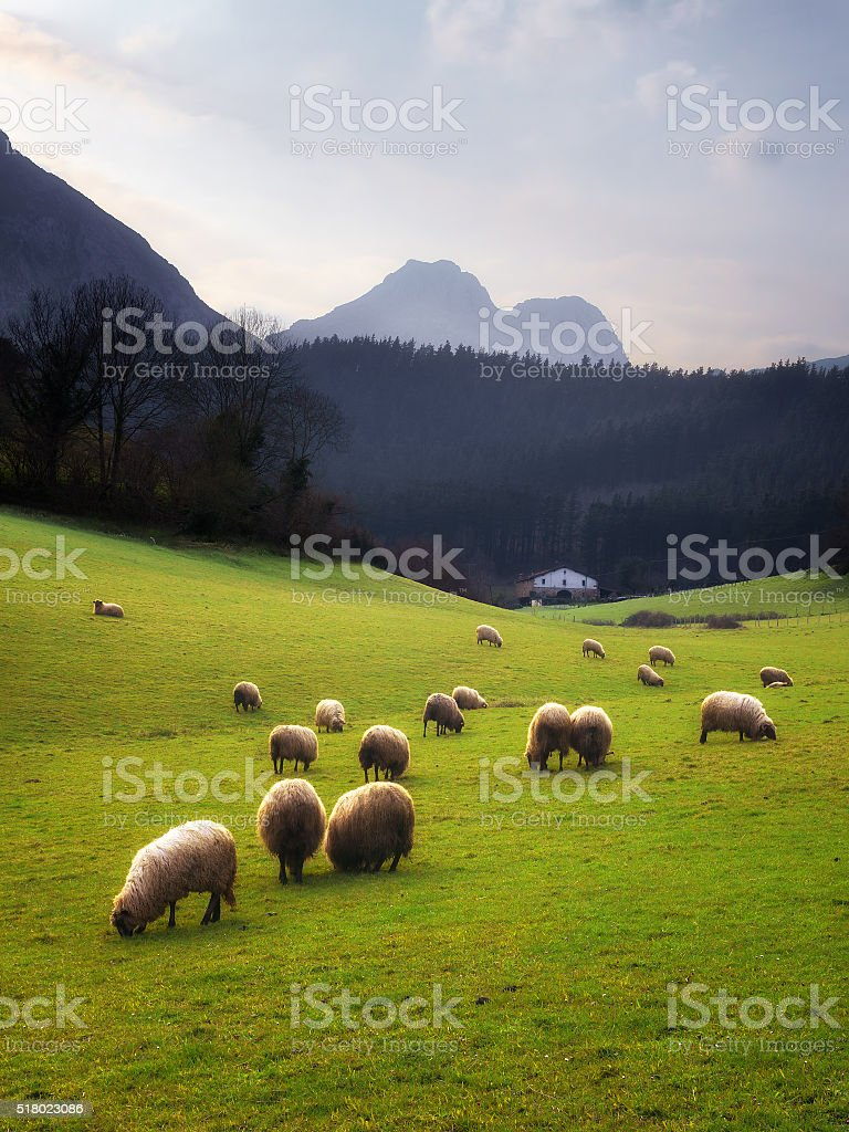 sheep grazing in Basque Country stock photo