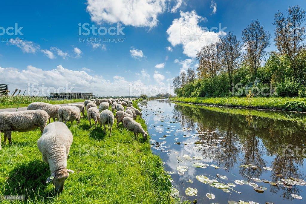 Sheep grazing in Dutch serene landscape. stock photo