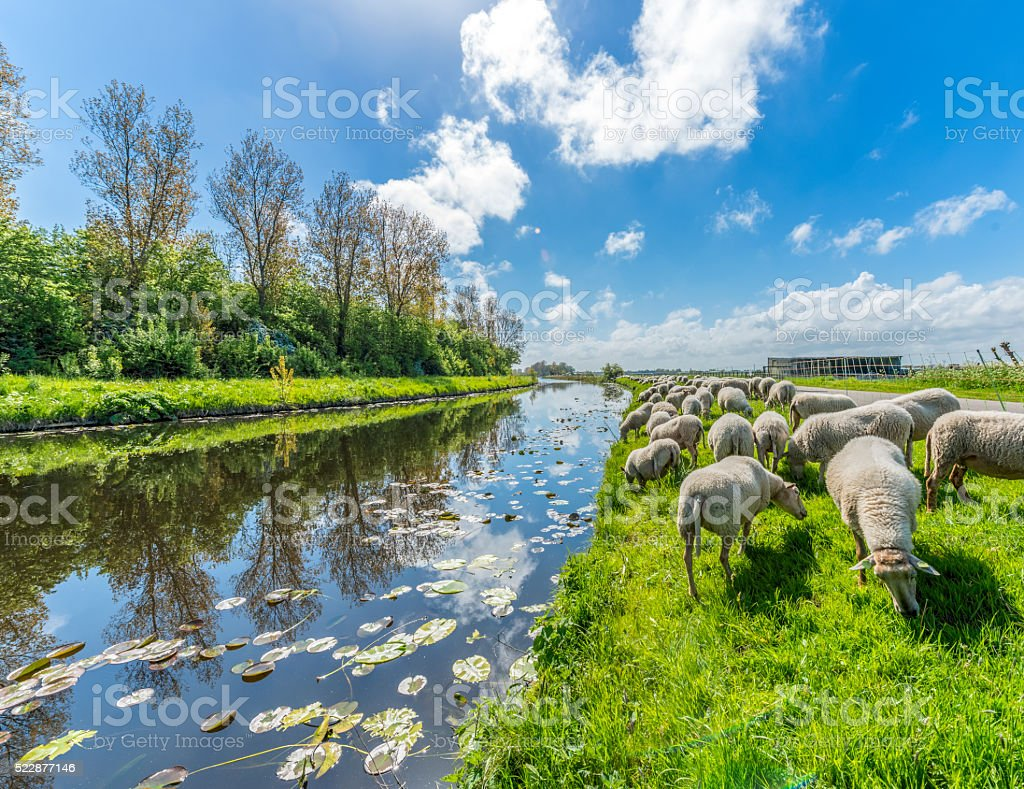 Sheep grazing in Dutch serene landscape. stock photo
