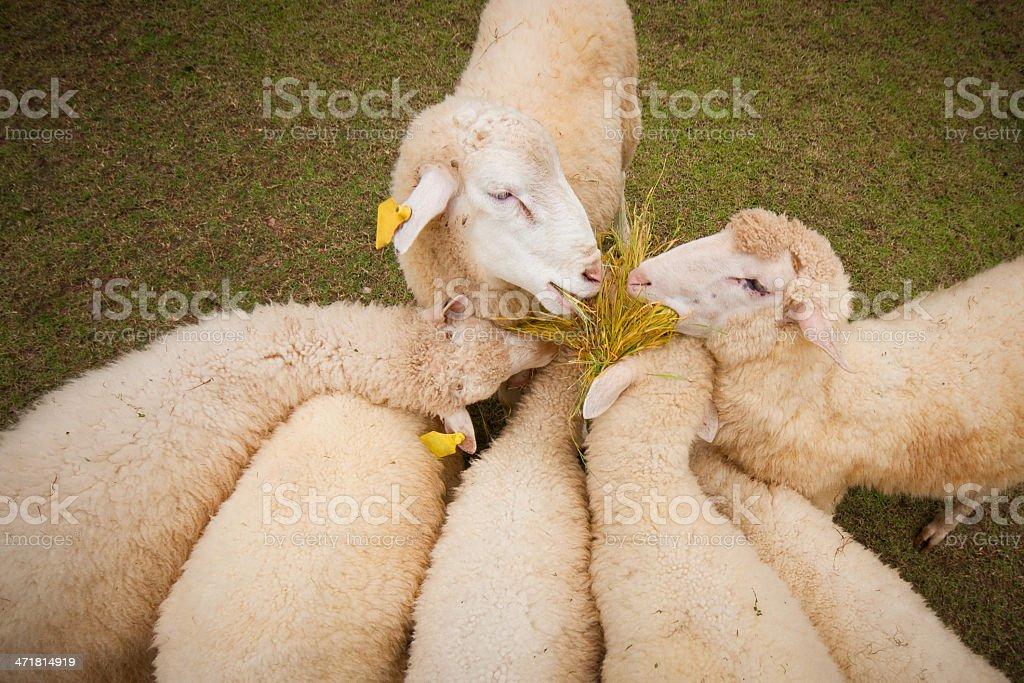 Sheep Grazing in garden royalty-free stock photo