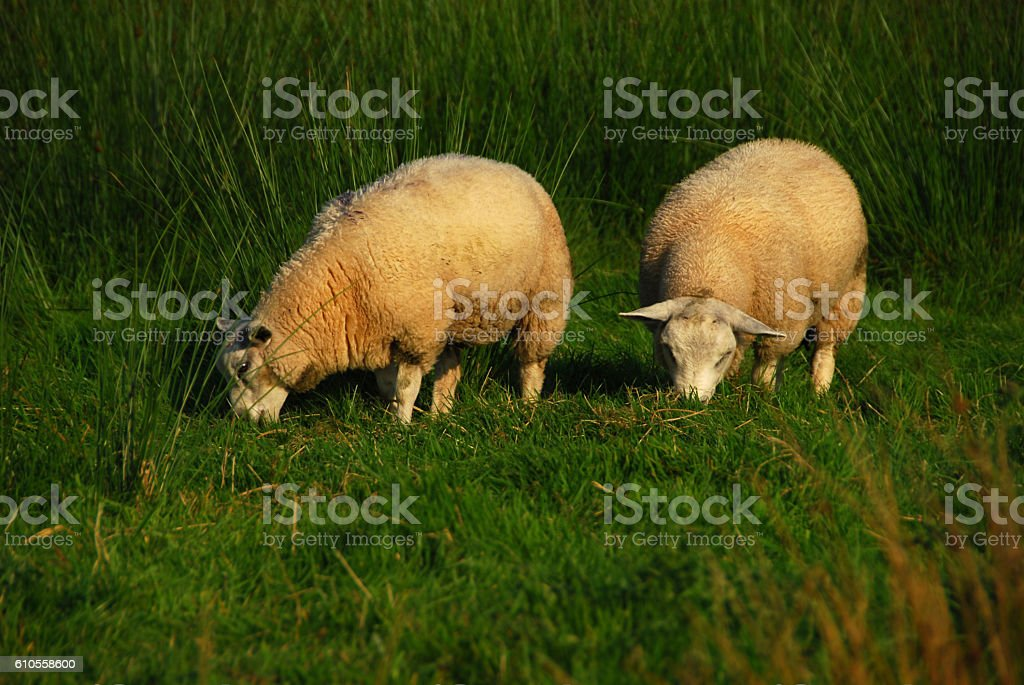Sheep grazing in moorlandscape during sunset stock photo