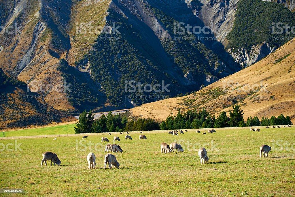 Sheep Grazing In New Zealand Pasture stock photo