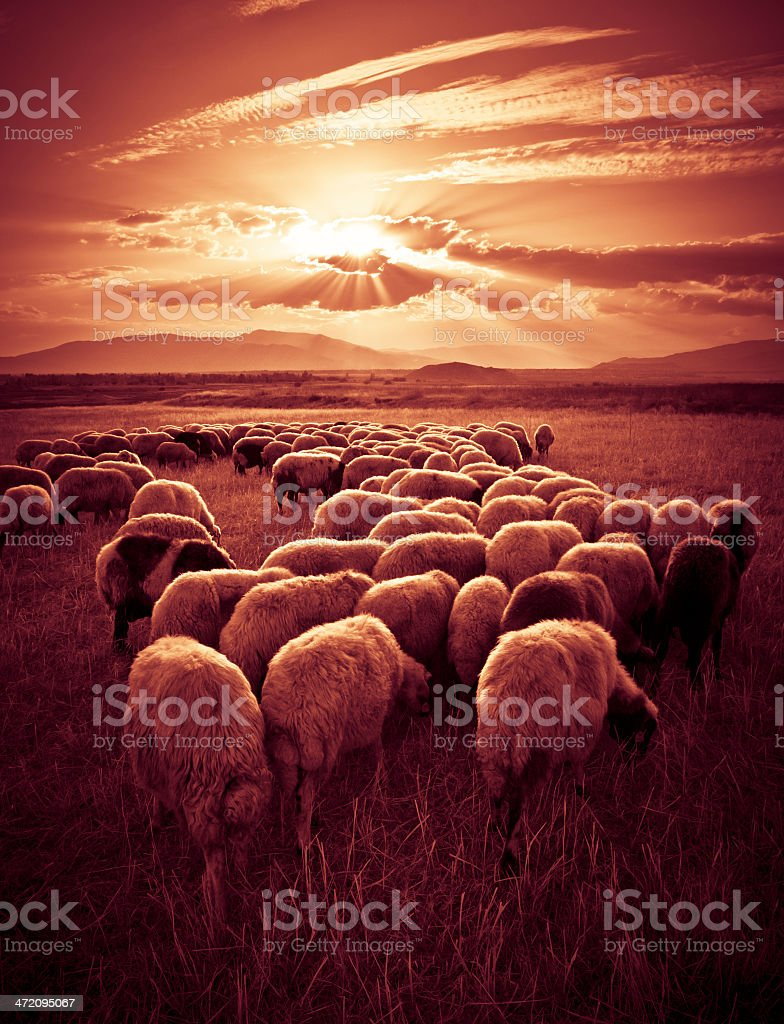 Sheep grazing in open field as sunset peeks through clouds stock photo
