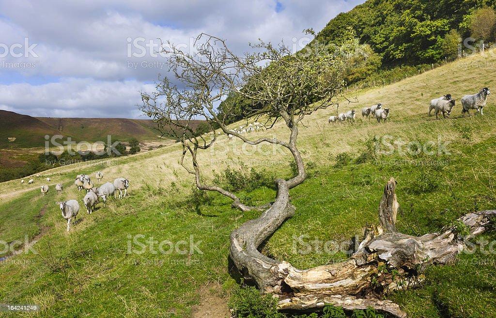 Sheep grazing in the North York Moors, Goathland, Yorkshire, UK. royalty-free stock photo