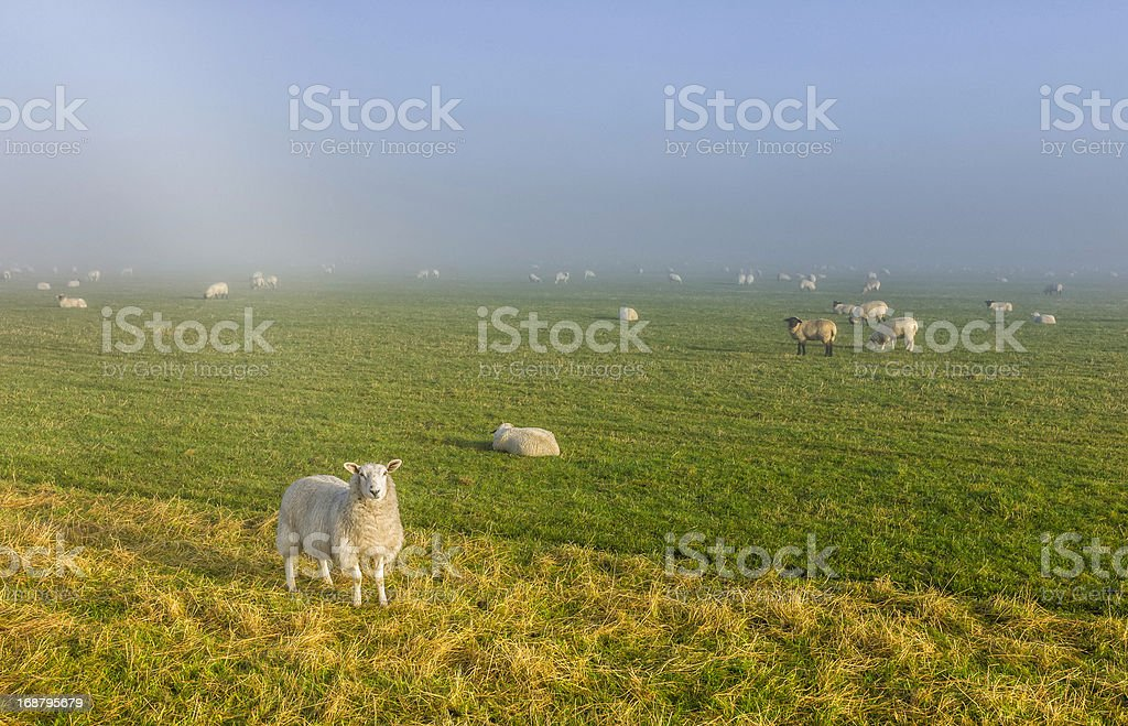 Sheep grazing in the North York Moors, Goathland, Yorkshire, UK. stock photo