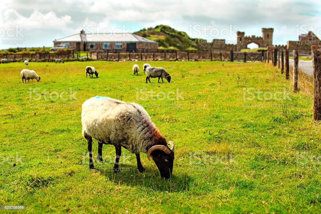 Sheep grazing, Ireland stock photo