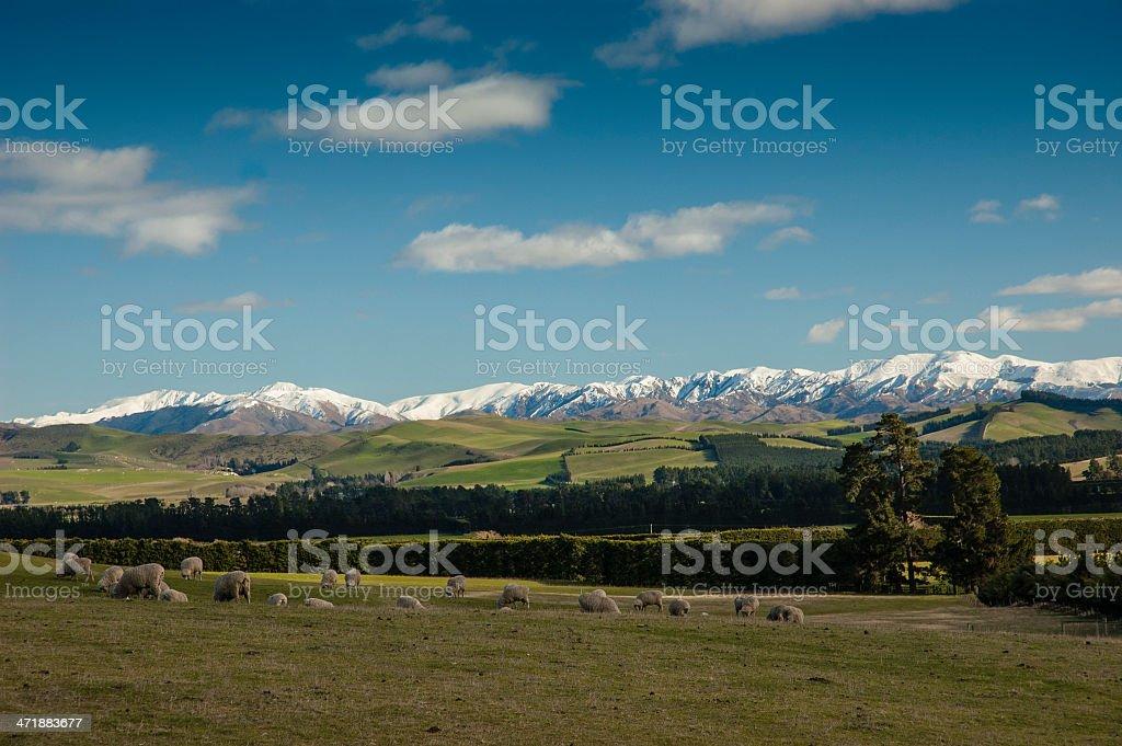 Sheep grazing near snowcapped mountains, Canterbury, New Zealand royalty-free stock photo