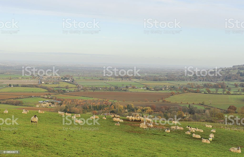 Sheep grazing near Winchcombe in the Cotswolds, Gloucestershire, England, UK stock photo