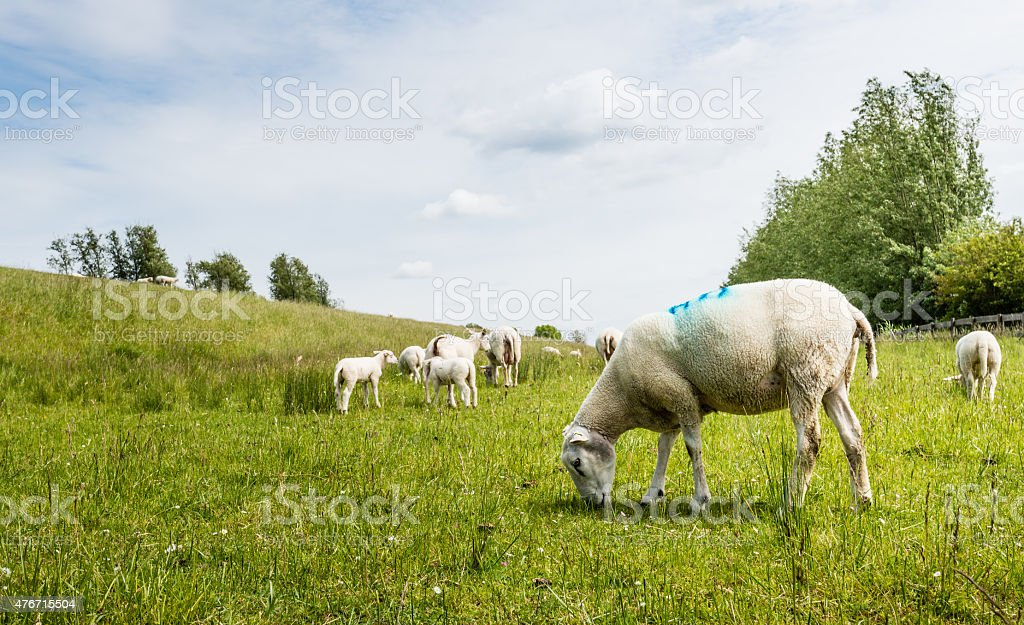Sheep grazing next to a dike stock photo