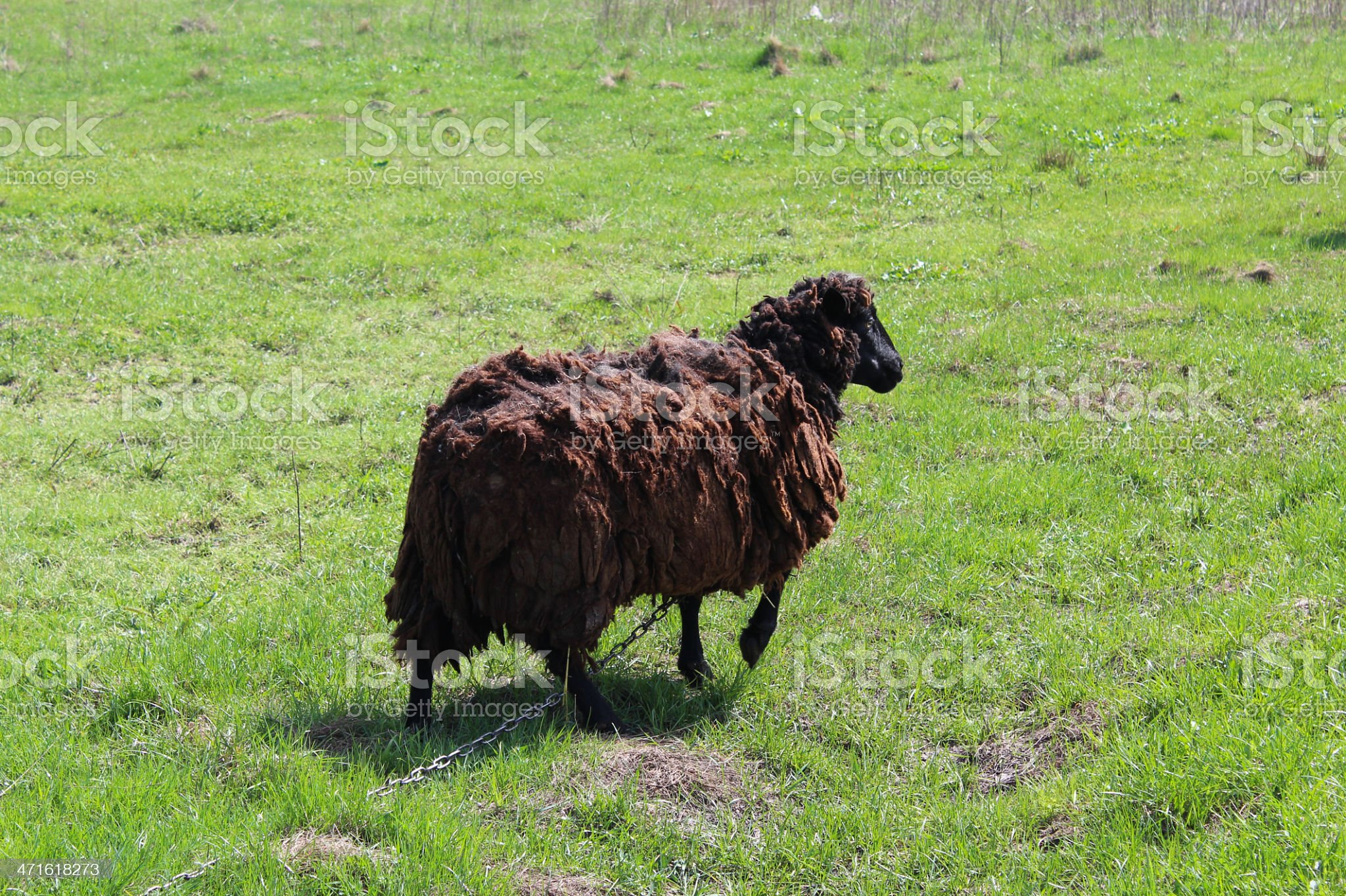 Sheep grazing on a grass royalty-free stock photo