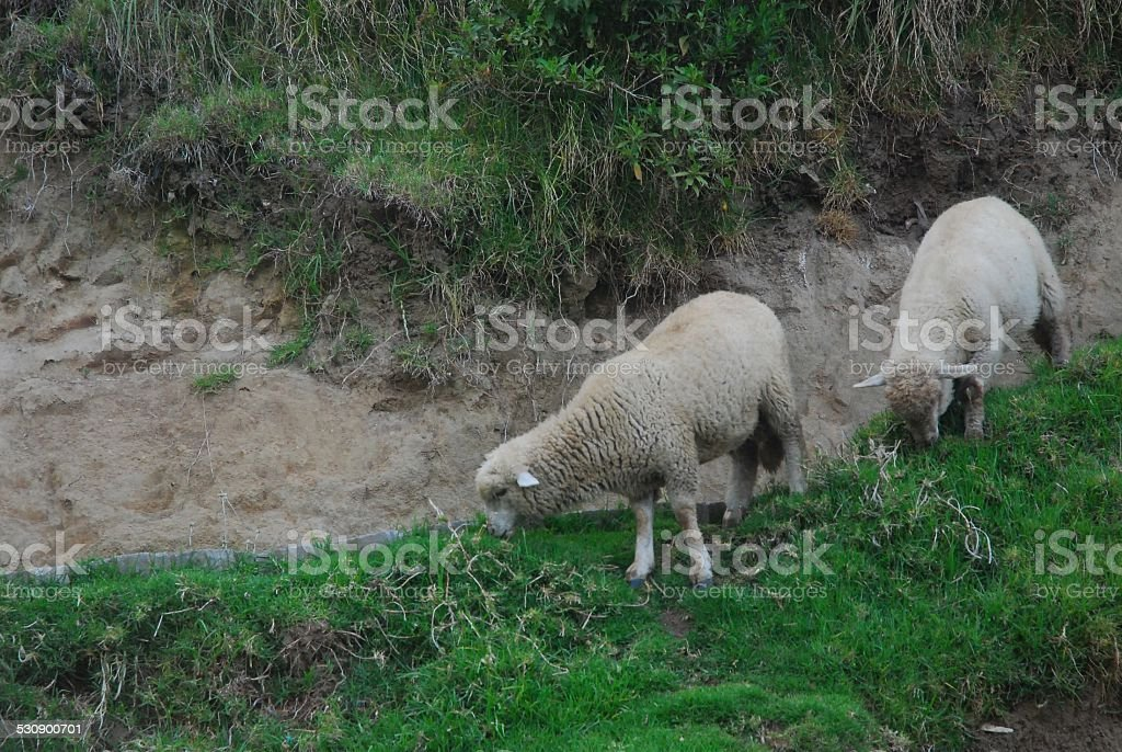 Sheep Grazing on a Hill royalty-free stock photo