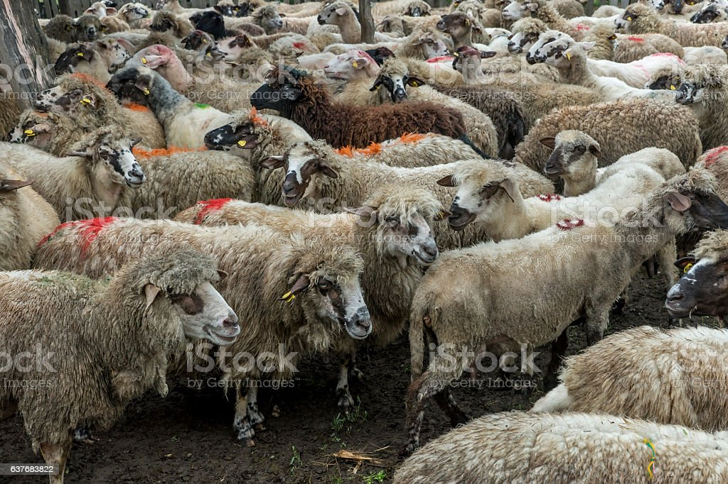 Sheep grazing on a meadow, on a cloudy day stock photo