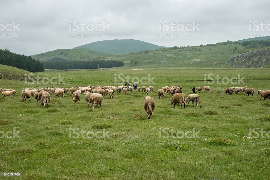 Sheep grazing on a meadow stock photo