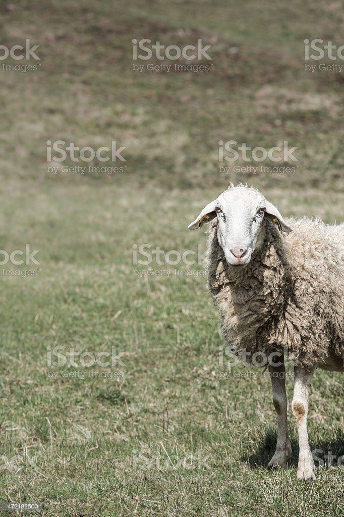 Sheep grazing on green pasture stock photo