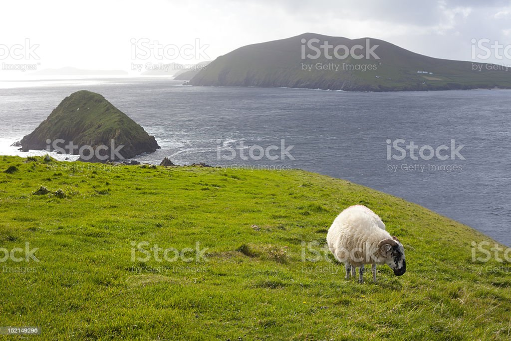 sheep grazing on meadow stock photo