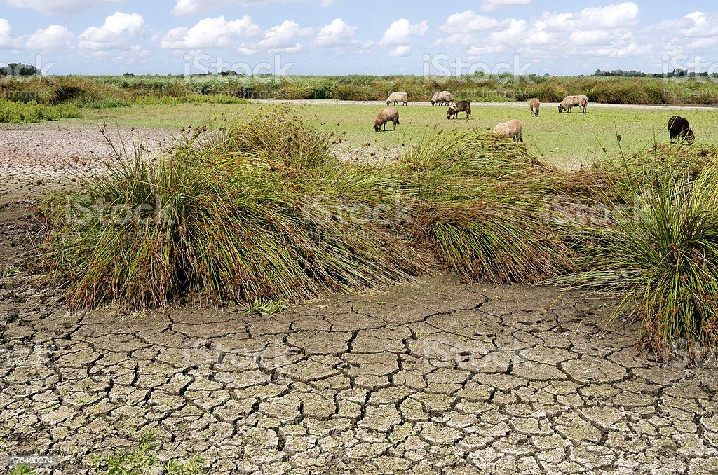 羊の牧草地に降り注ぐ自然乾燥ツバメます。 ロイヤリティフリーストックフォト
