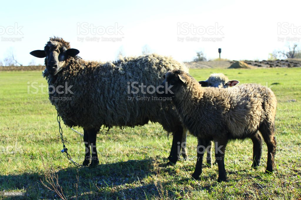 sheep grazing on the grass stock photo