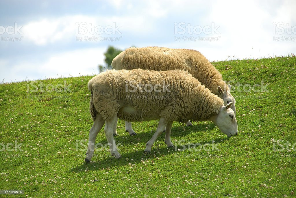 Sheep Grazing on the Hillside royalty-free stock photo