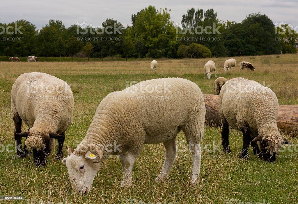 sheep grazing royalty-free stock photo