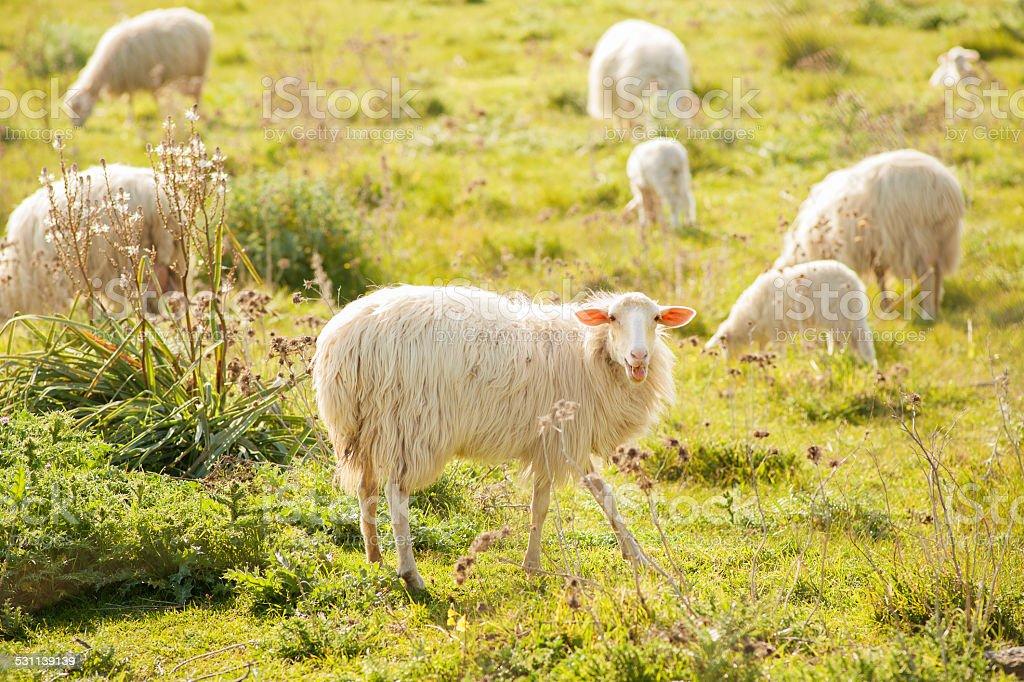 sheep grazing stock photo
