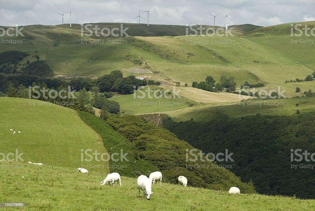 Sheep Grazing, Wales royalty-free stock photo