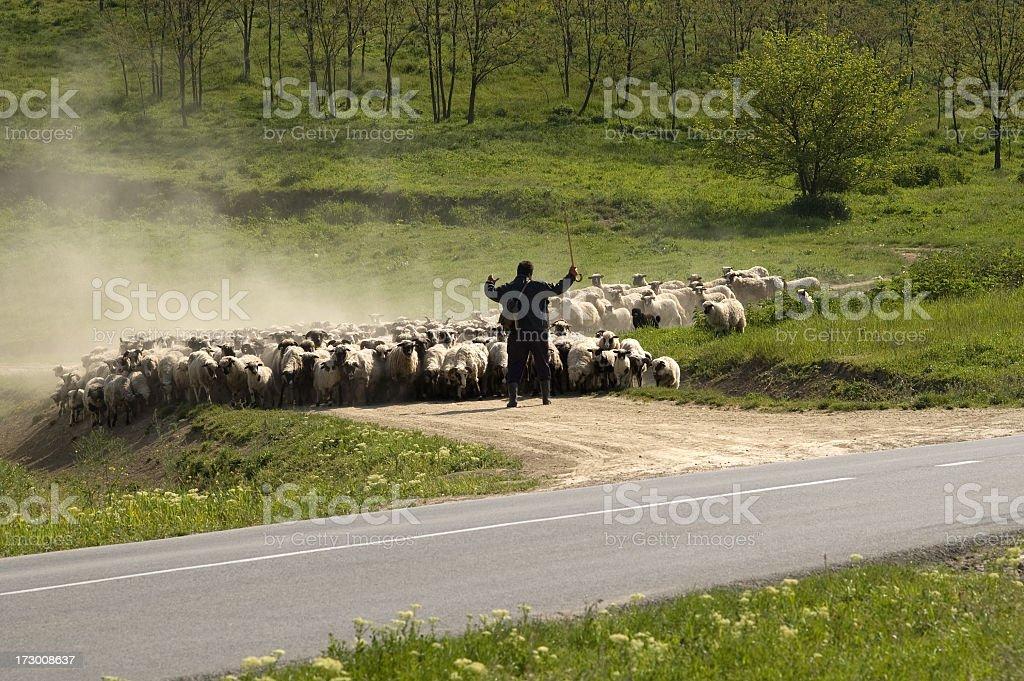 Sheep group stock photo