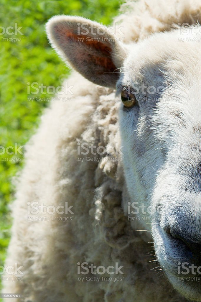 Sheep Head Close-up royalty-free stock photo
