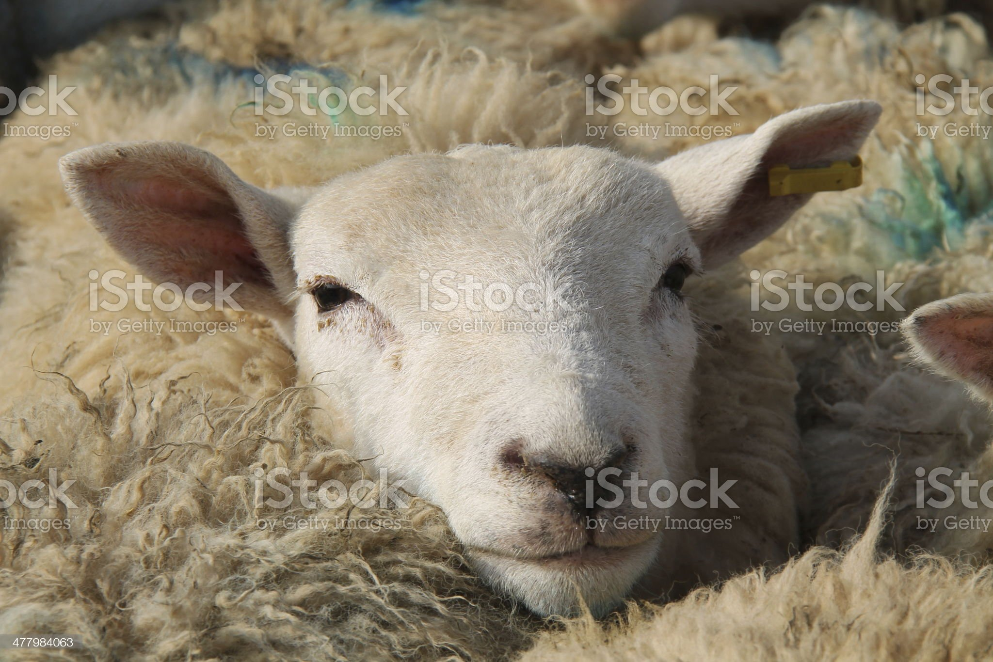 Sheep Head. royalty-free stock photo