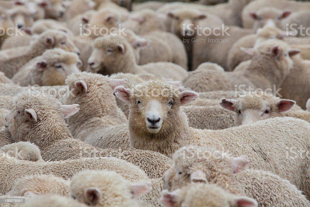 Sheep Heard in New Zealand 2 stock photo