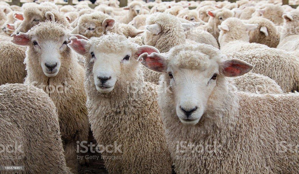 Sheep Heard in New Zealand stock photo
