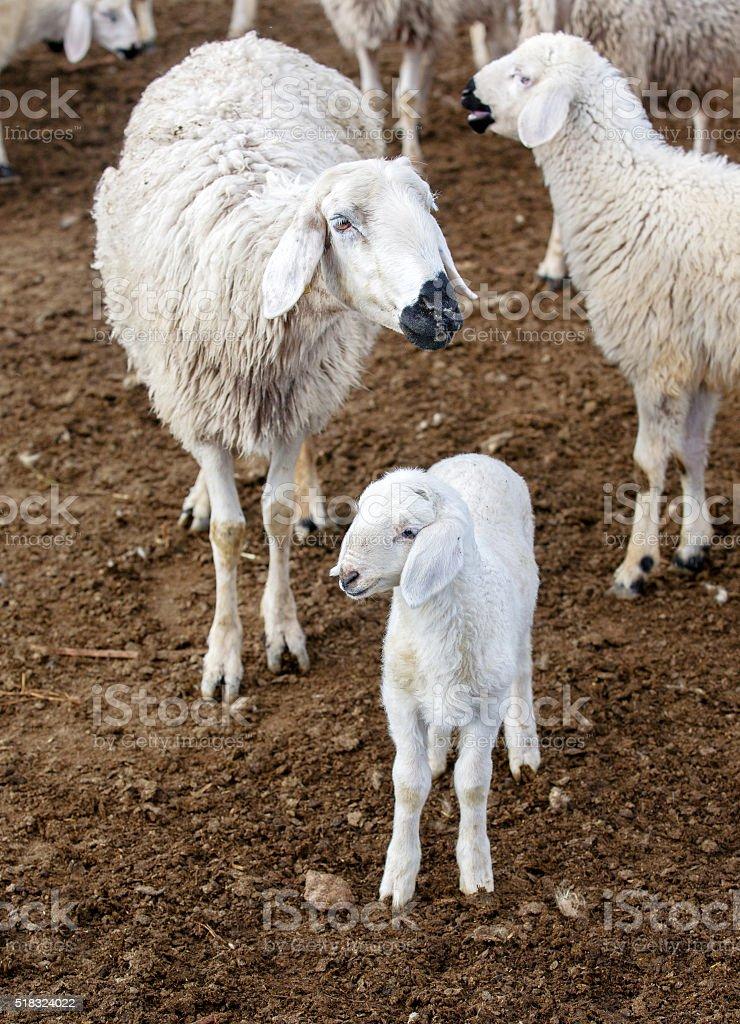 Sheep her lamb stock photo