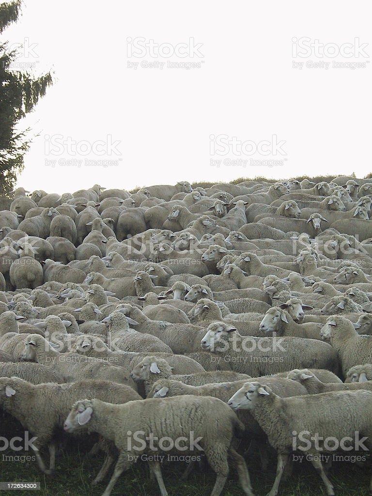 sheep herd 2 royalty-free stock photo